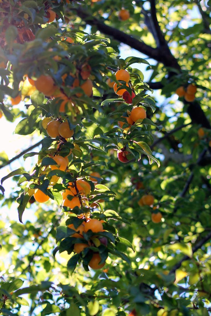 Plum Buckle Sun Plums