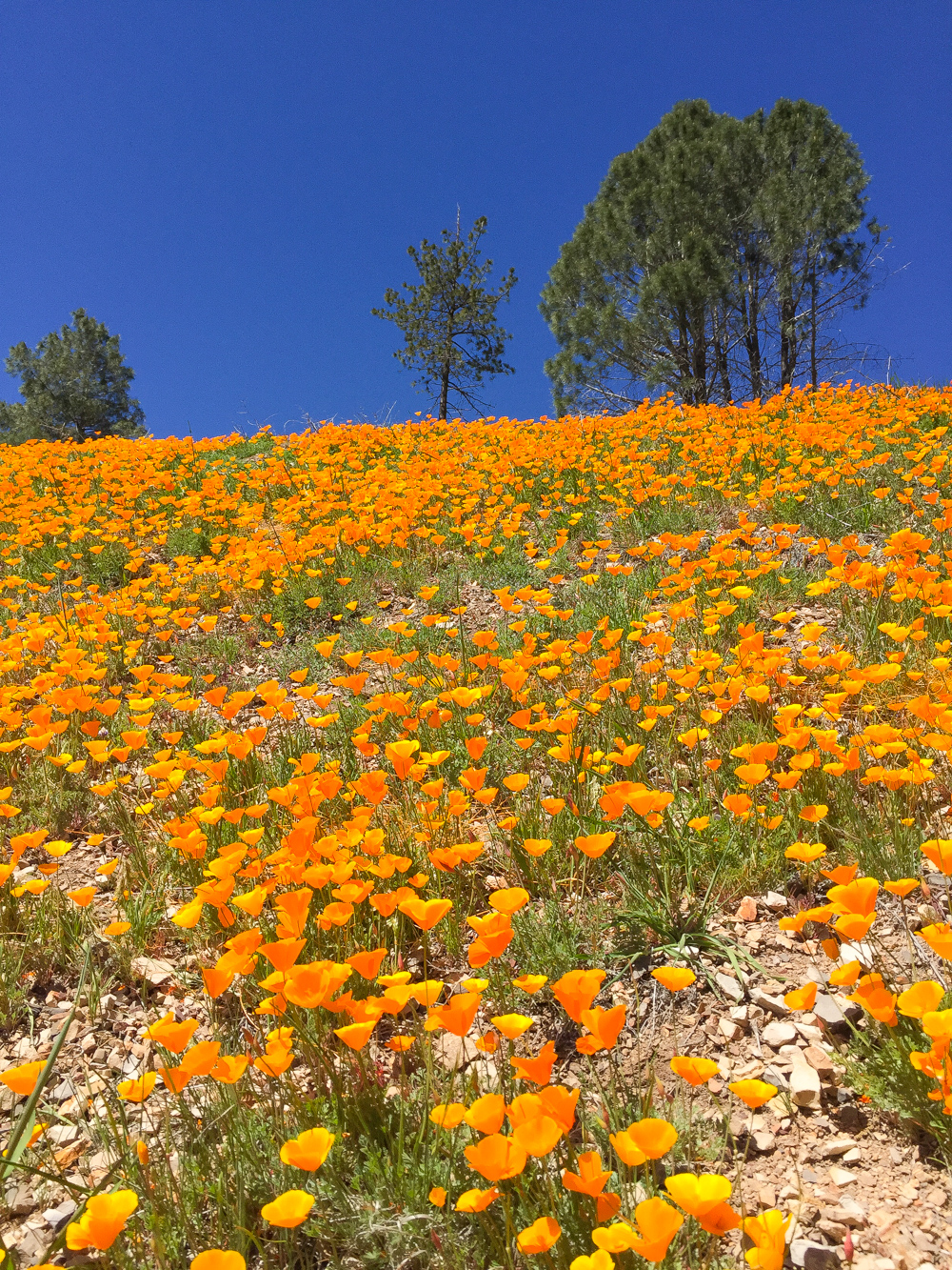 Figueroa Mountain Poppies