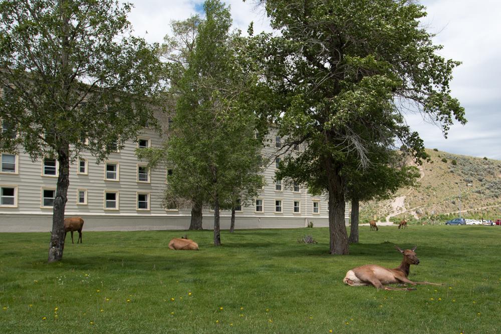 Roadtrippin' Yellowstone, Grand-Teton and Beyond - Mule Deer in Yellowstone