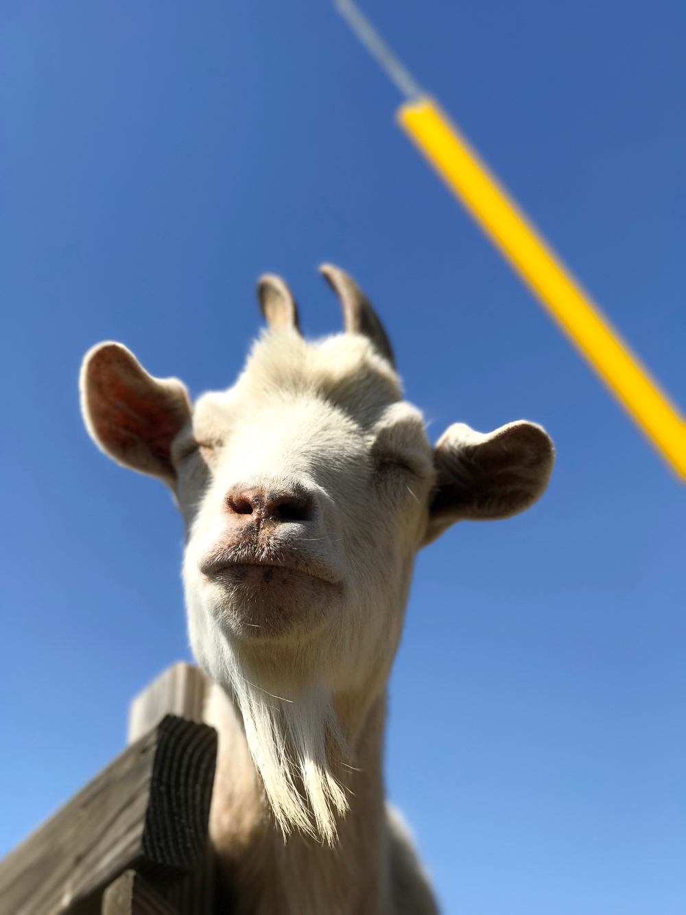 How sweet is this silly grinning goat with his beautiful long beard. <3