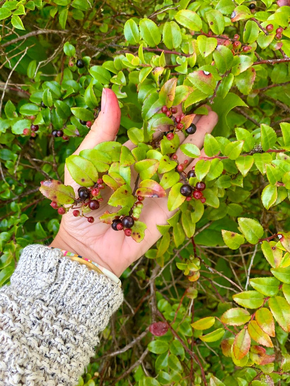 Picking huckleberries